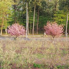 自宅前の八重桜 自宅前のブルーベリー畑を囲むように6本の…(2枚目)
