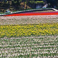 チューリップ畑/羽村水上公園/平成最後の一枚/春/おでかけワンショット こんにちはー 今日は母とチューリップ畑に…