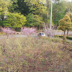 自宅前の八重桜 自宅前のブルーベリー畑を囲むように6本の…(3枚目)