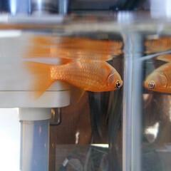 金魚 逆さまになって寝てます