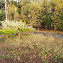 自宅前の八重桜 自宅前のブルーベリー畑を囲むように6本の…
