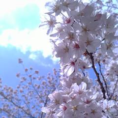ガーデニング/花のある暮らし/ガーデン雑貨/ガーデニング雑貨/LIMIAガーデニング部/うちのガーデニング/... こんにちはー 今こちらは18.9℃で暖か…(1枚目)