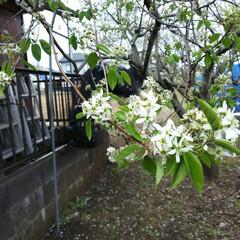 ジュンベリー こちらはジュンベリーのお花です 6月のラ…