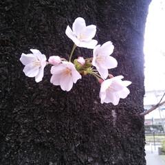 はじめてフォト投稿/小さい春 樹の低い所に 小さな春みーっけ(๑˃̵ᴗ…