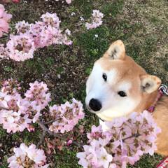 散歩/朝散歩/柴犬と花/柴犬大好き/柴犬すず/柴犬/... 早咲きの桜が満開でした🌸 一足早く春を満…