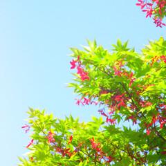 赤/葉っぱ/空/種/キレイ😍/かえで/... もみじ(かえで?)の種が真っ赤に! 空の…