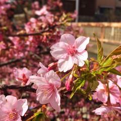河津桜/春/桜/LIMIAおでかけ部/おでかけ/旅行/... 河津桜を見に行ってきました! 河津桜なの…