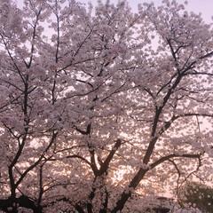 夕日/桜/めっちゃ綺麗😍 🌸ソメイヨシノ🌸            …
