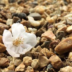 小さい春/春/桜/春のフォト投稿キャンペーン/LIMIAおでかけ部/フォロー大歓迎/... 小さい秋...ではなく、小さい春!! 見…
