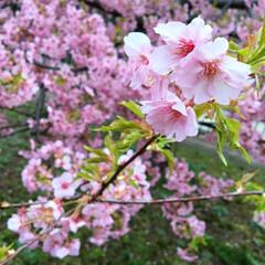美しい/かわいい/きれい/桜/京都/淀/... すこーし前に、河津桜で有名な淀(京都)に…