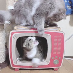 にゃんこ爪研ぎ/SOL✩ラガマフィン/春馬✩スコティッシュフォールド垂れ耳 昨日 AEONで テレビ型で中も外も爪研…(5枚目)