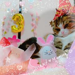 ラガマフィン/スコティッシュフォールド/ペット/ペット仲間募集/猫/にゃんこ同好会/... そして3月11日は はるまの3歳のお誕生…