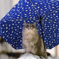 ラガマフィン∩(^ΦωΦ^)∩ SOLたん💕 私が貰った折り畳み傘に 興…