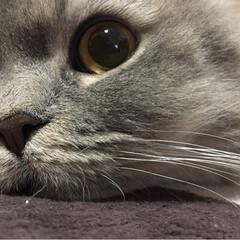 ラガマフィン/LIMIAペット同好会/ペット仲間募集/猫/にゃんこ同好会/わたしのお気に入り 可愛いSOLくんの この顔・このお目目♡…