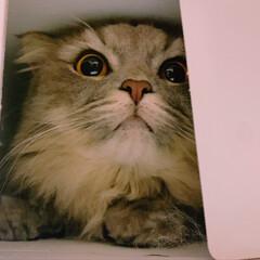 ラガマフィン/LIMIAペット同好会/ペット仲間募集/猫/にゃんこ同好会/うちの子ベストショット モンブランを 明日同僚へあげようと どの…