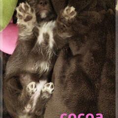 戌年/ミックス犬/チワプー 今は2歳です。 cocoa女の子