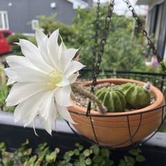 サボテンの花/多肉 11年目にして 初めてお花が咲きました(…