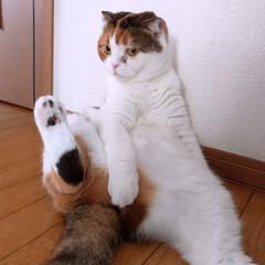 スコティッシュフォールド/猫派/令和の一枚/LIMIAペット同好会/にゃんこ同好会 あっ見ないでください  こんな姿、すみま…