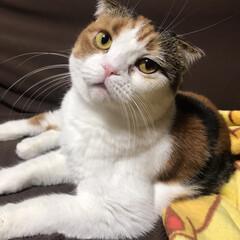朝/ゆず/スコテッシュフォールド/ペット仲間募集/猫/にゃんこ同好会/... おはようございます 5時半起床。 私が動…