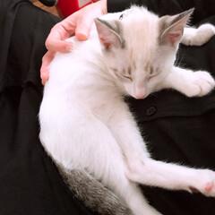 おひるね/白猫/ワクチン接種/マロ/雨季ウキフォト投稿キャンペーン/令和の一枚/... 今日は2回目のワクチン接種してきました。…
