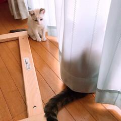 マロ/ゆず/白猫/仔猫/スコティッシュフォールド/令和元年フォト投稿キャンペーン/... おはようございます カーテンの向こうにゆ…