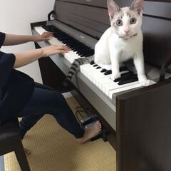 白猫/マロ/ピアノ/令和の一枚/LIMIAペット同好会/にゃんこ同好会/... 娘がピアノを弾き始めると🎹 乗っかっちゃ…(1枚目)