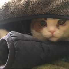 かくれんぼ/ゆず/スコテッシュフォールド/ペット/ペット仲間募集/猫/... あれ〜ゆずどこ行った? って言ってたら‥…