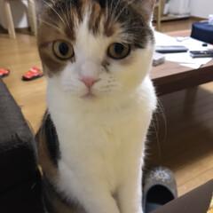 ゆず/スコテッシュフォールド/LIMIAペット同好会/ペット/ペット仲間募集/猫/... 今朝のおねだりの顔。  撫でてほしいの?…