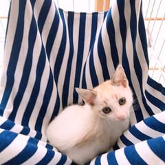 Ninkipet(ニンキペット)キャットハンモック チェア ニャンモック ニャンモック ねこ用ハンモック ペット用品 猫 取り付け簡単 春夏秋冬でも使えるハンモック ((その他キッチン、日用品、文具)を使ったクチコミ「今日は子猫ちゃん(マロ)の注射に行ってき…」