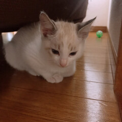 マロ/新入り/子猫/令和元年フォト投稿キャンペーン/令和の一枚/フォロー大歓迎/... 今日、我が家に新しい子が来ました。 先住…