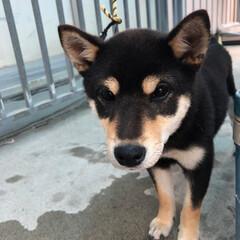 迷い犬/犬 我が家に犬が迷って侵入💦💦 首輪をしてい…