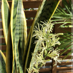 グリーン/サンスベリア/玄関 先日、投稿したサンスベリアのお花が咲きま…