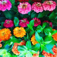 嬉しいサービス/薔薇/ブルーサルビア/ユーフォルビア/千日紅/ジニア/... 仕事先に植える花を買ったら、お店の人に『…