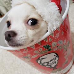 犬好きな人と繋がりたい/犬との生活/いぬのいる暮らし/愛犬/ロングコートチワワ/チワワ/... ᔦᔧ✩MᵉʳʳʸXᵐᵅˢ✩ᔦᔧ 虐待では…