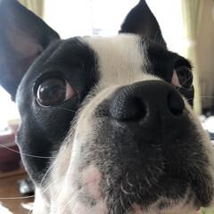 親バカ部/犬部/ボストンテリアのいる暮らし/ボストンテリア