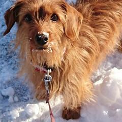 雪国/MIX犬/はじめてフォト投稿/ペット/犬 雪国で暮らすミニチュアダックスフンドとヨ…
