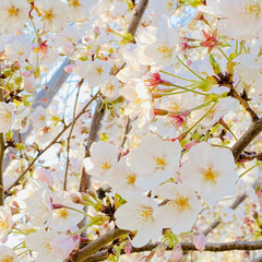 備え/新学期/癒し/コロナに負けるもんか/桜/暮らし 桜に癒される日々。 明後日から子ども達は…