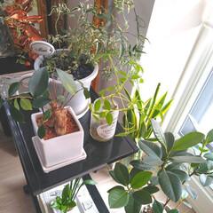 おうちの美化委員/グリーン/インテリア/暮らし/観葉植物/住まい 午前中しか日が当たらない我が家。 観葉植…