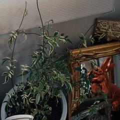 グリーンインテリア/鉢植え/ジャスミン/水耕栽培/グリーン/植物/... 鉢植えの『ハゴロモジャスミン』を水耕栽培…