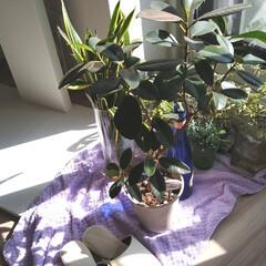 グリーンのある暮らし/札幌/台風?/強風/ベランダ/観葉植物 今日の札幌はすっごい風🍃🌀🍃 ベランダに…