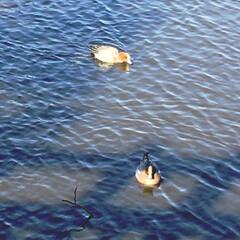 早朝/池/散歩/カモ🦆/冬 朝の散歩で池にいたカモ🦆達です 日陰では…