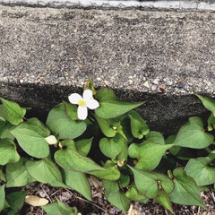 除草剤/ドクダミ/薬草 駐車場のふちにドクダミが咲いています 昨…
