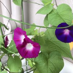 つぼみ/朝顔/開花/健気 健気にまだ咲き続けております 今日あたり…