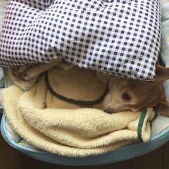布団/寒い/犬 寒っ!! て事で布団着て寝てます🐶🛌 朝…