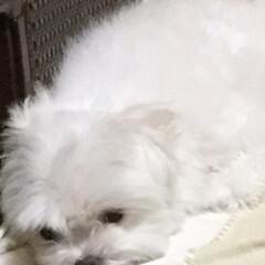 おネム/犬 おネムのマルチーズ犬です 姉犬チワピンは…