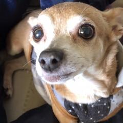 水玉模様/犬 今日もワンコです🐶 鼻の先に白い水玉模様…