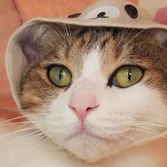 遊び/コスプレ猫/かぶりもの/コリラックマ/秋/ペット/... カメラを向けると必ずキメ顔を作ってくれる…