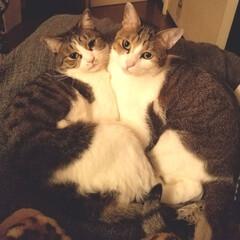 なかよし/LIMIAペット同好会/フォロー大歓迎/ペット/ペット仲間募集/猫/... 今日もべったりなかよしさんのアルトとエレ…