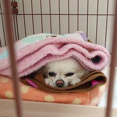 お留守番犬/チロル/ペット/犬/おやすみショット うとうと中のチロルです♪ いつもお留守番…(1枚目)