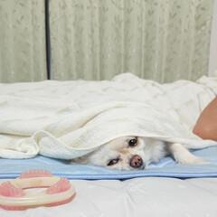 ペット/チワワ/チロル 大学1年息子君が夏風邪で寝込んでます。 …(1枚目)